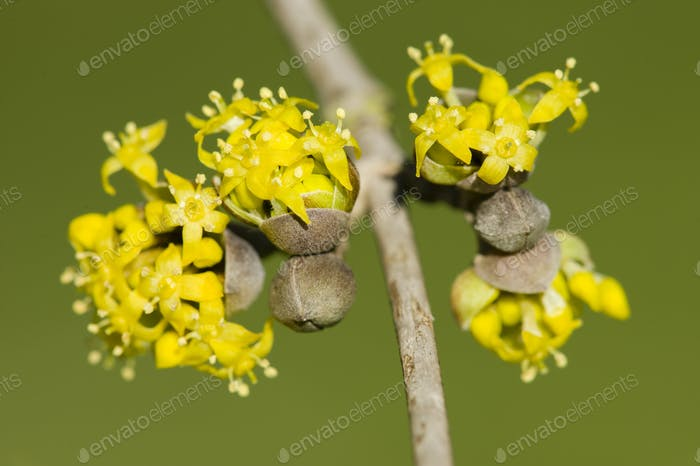 Cornus mas, Cornelian cherry, European cornel, dogwood yellow fl