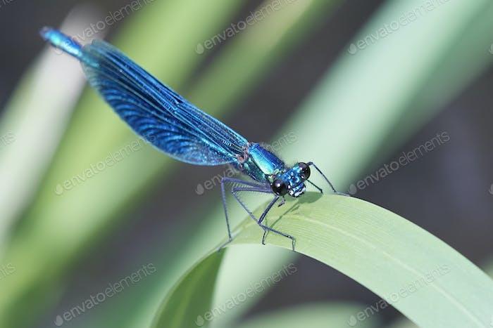 Gebänderte Demoiselle (Calopteryx splendens)