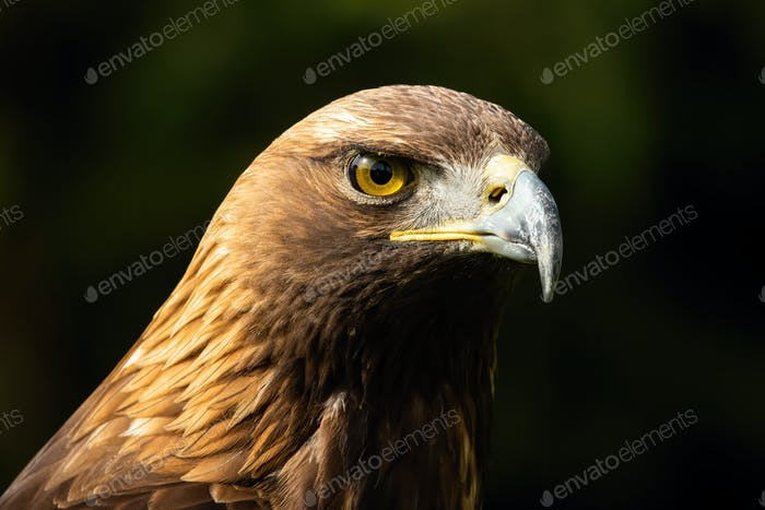 Majestic golden eagle looking in nature in close-up