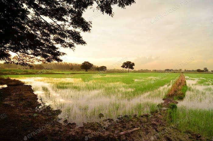 Paddy Feld-Landschaft, Thailand