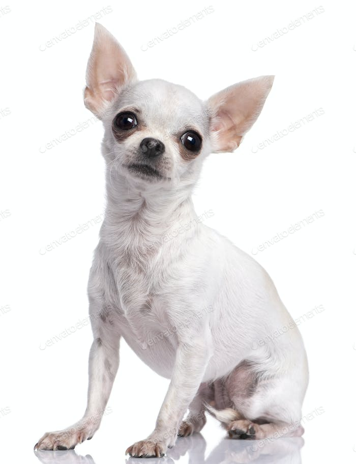 white chihuahua (3 years old)