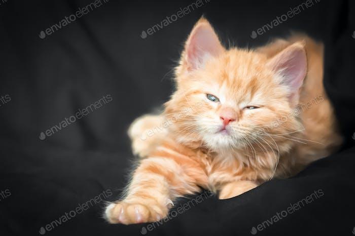 cute ginger kitten
