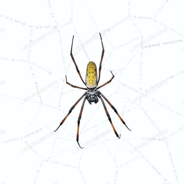Golden Orb-web spider in spider web, Nephila inaurata madagascariensis, against white background