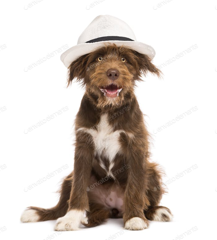 Crossbreed, 5 months old, sitting wearing a white hat against white background