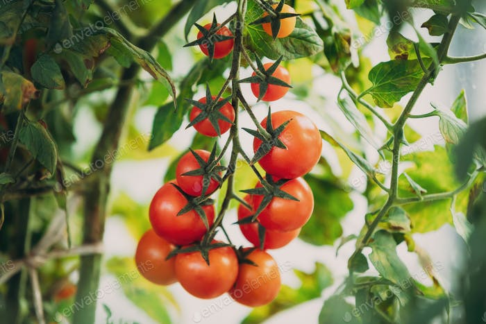 Red Growing Organic Cherry Tomatoes. Group Bunch Of Homegrown To