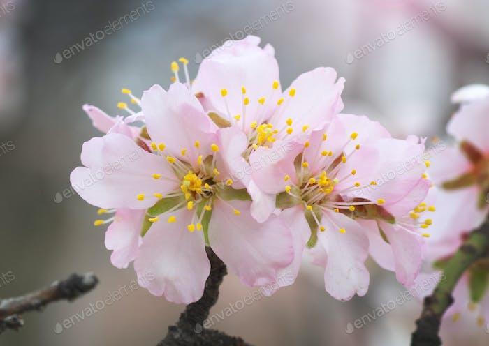 Spring almond flower