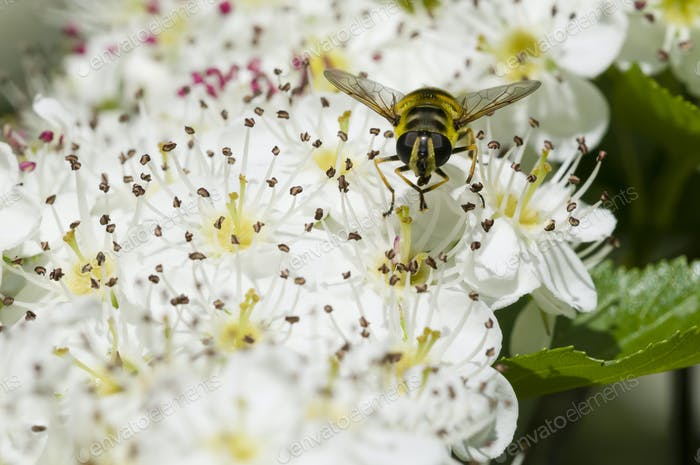 Hoverfly on hawthorn flowers