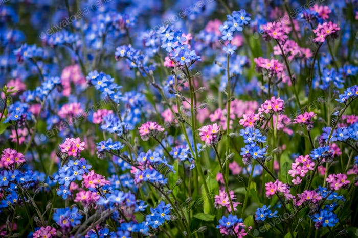 Blue and purple forget-me-nots flowers
