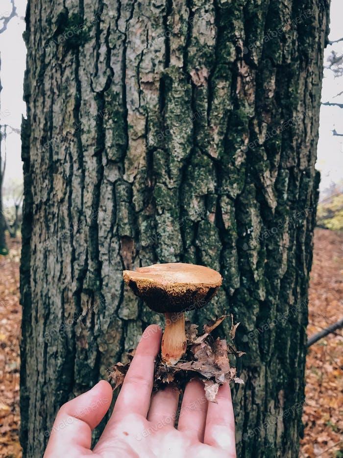 Hand hält essbaren Pilz im Herbstwald