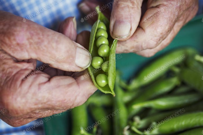 A man opening a peapod to see the fresh peas growing inside it