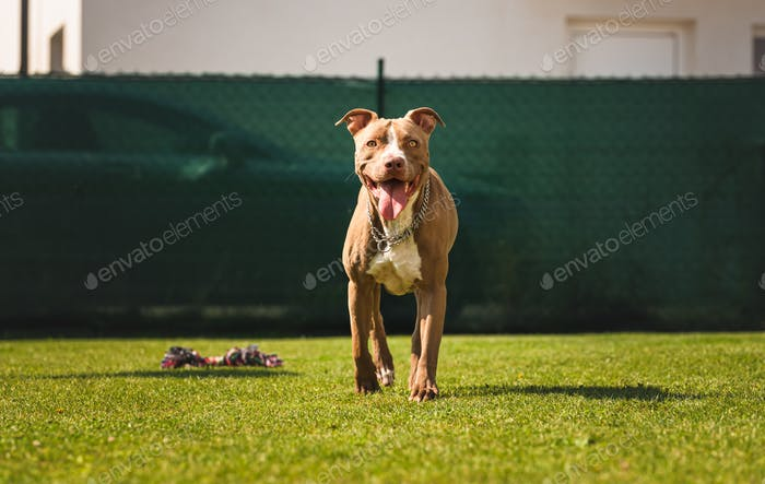 Dog running wih tongue out in backyard American staffordshire terrier, amstaff