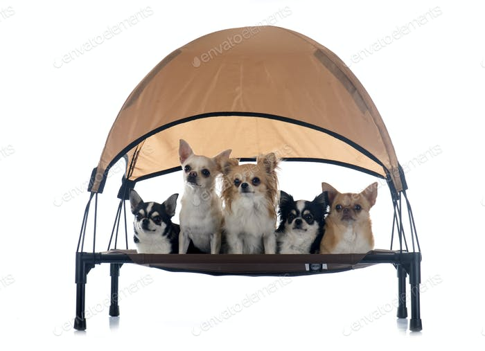 chihuahuas on four-poster