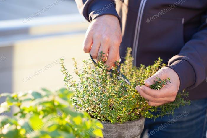 садовник, собирающий листья тимьяна на балконе
