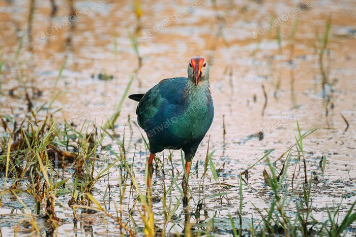 Goa, India. Grey-headed Swamphen Bird In Morning Looking For Food In Swamp. Porphyrio Poliocephalus
