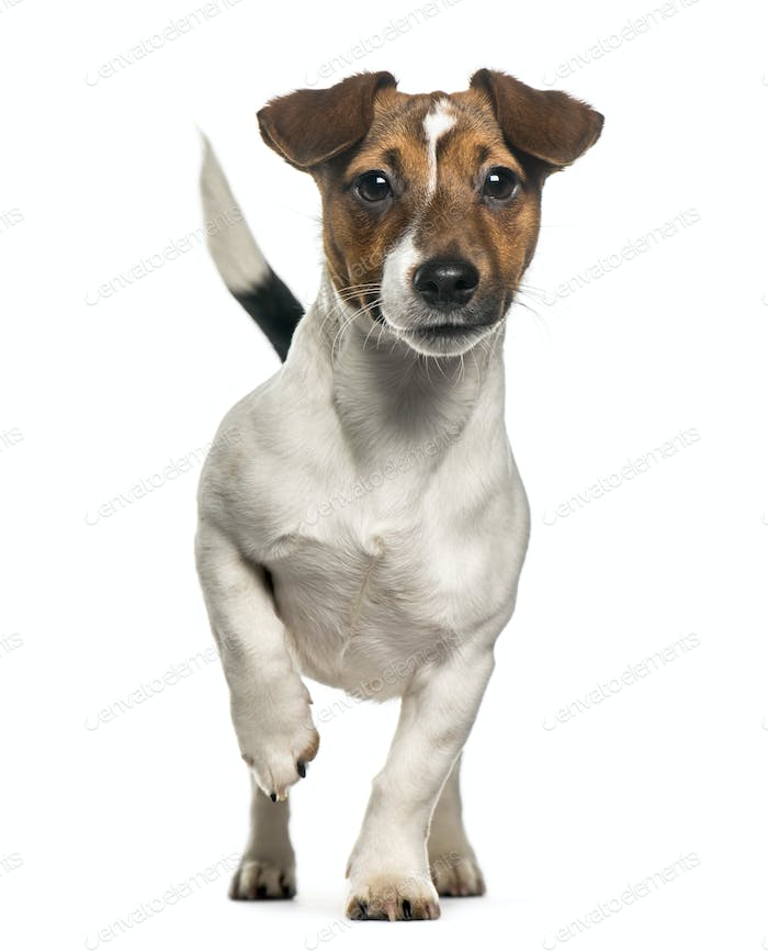 Front view of a Jack Russell Terrier standing, isolated on white