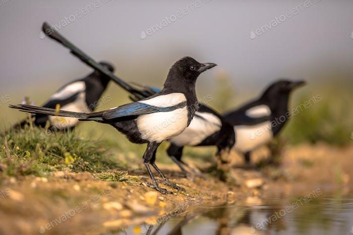 Eurasian Magpie group