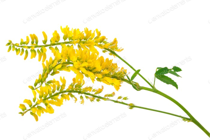 Heilpflanze: Melilotus officinalis (Yellow Sweet Clower)