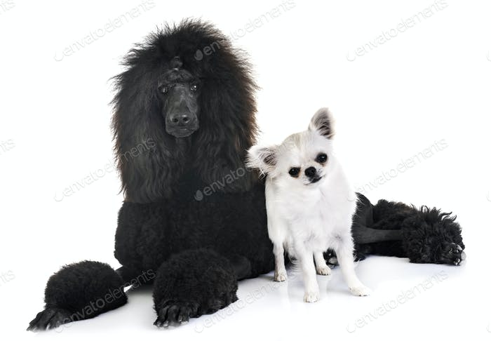 black standard poodle and chihuahua
