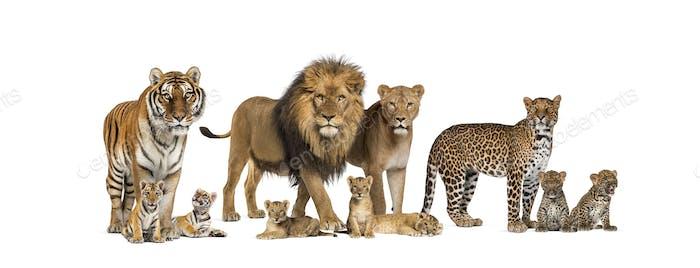 Große Gruppe vieler Wildkatzen, Junges und Erwachsener zusammen in Folge
