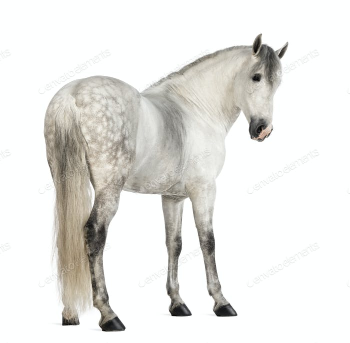 Rear view of a Male Andalusian, 7 years old, also known as the Pure Spanish Horse looking back