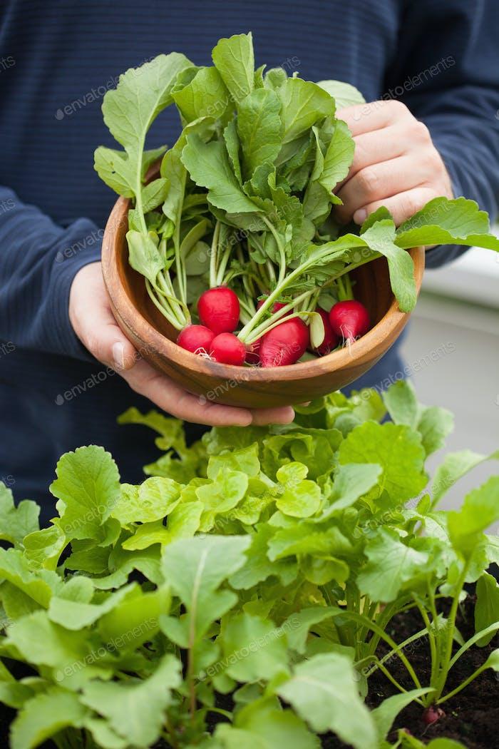 Mann Gärtner pflücken Rettich aus Gemüsebehälter Garten auf b