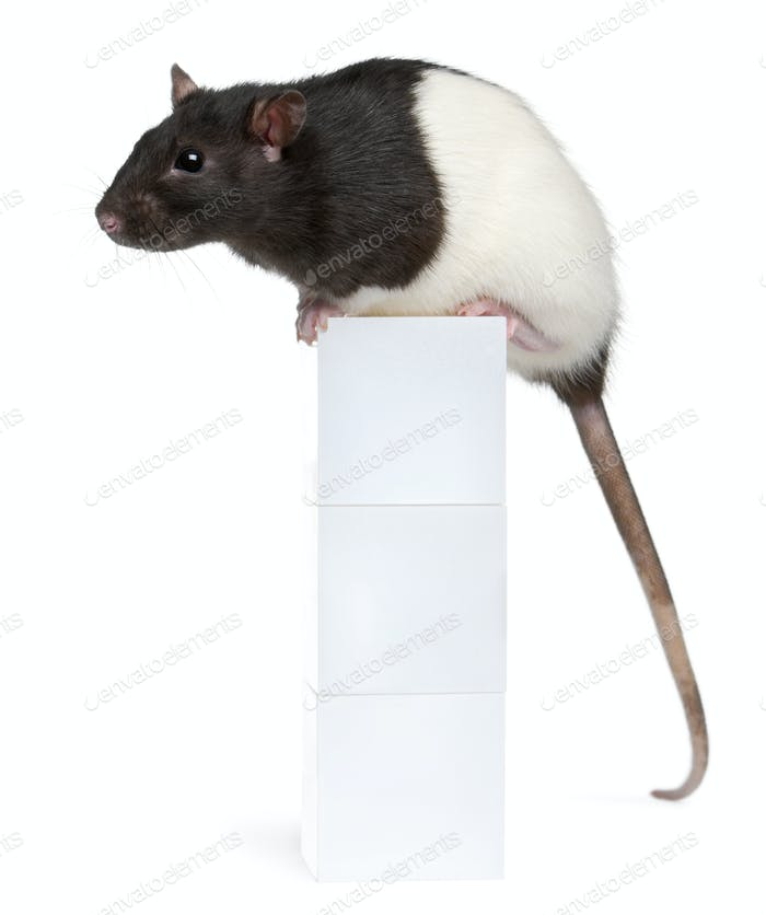 Fancy Rat, 1 year old, sitting on box in front of white background
