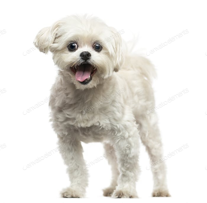 Front view of a Lhasa Apso panting, isolated on white