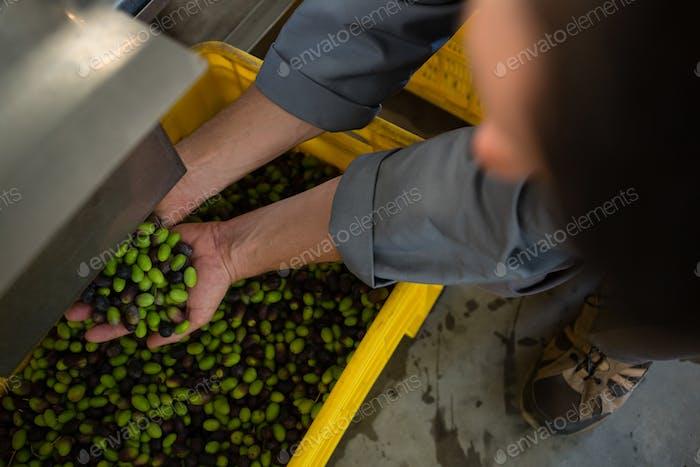 Arbeiter mit geernteten Oliven