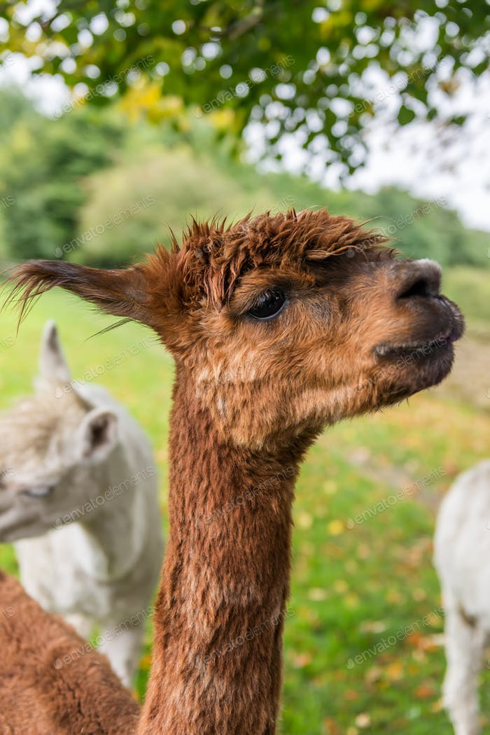 Cute and Sheared Lllamas in English countryside.