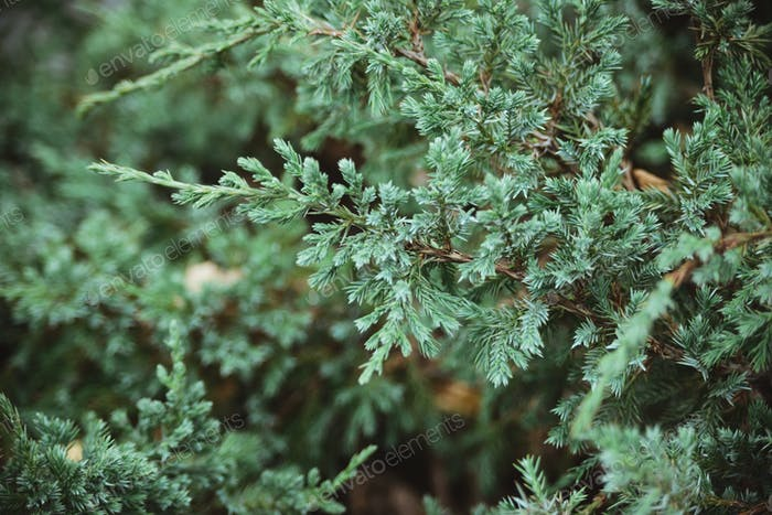 juniper branches background