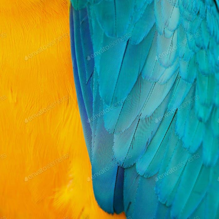 Blaue und goldene Ara-Federn