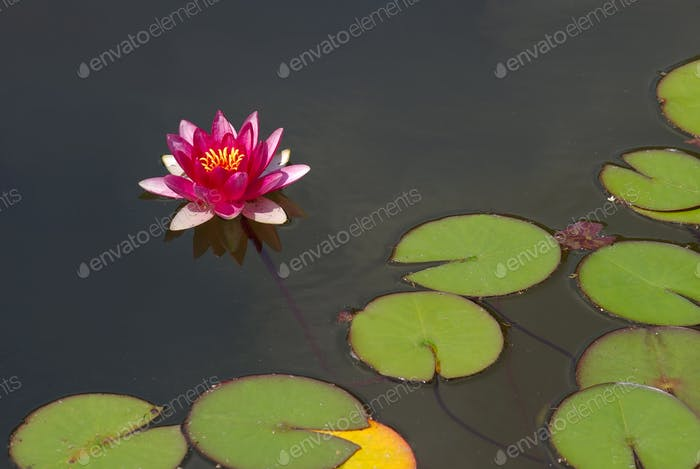Beautiful pink water lily or lotus blossom on surface of pond