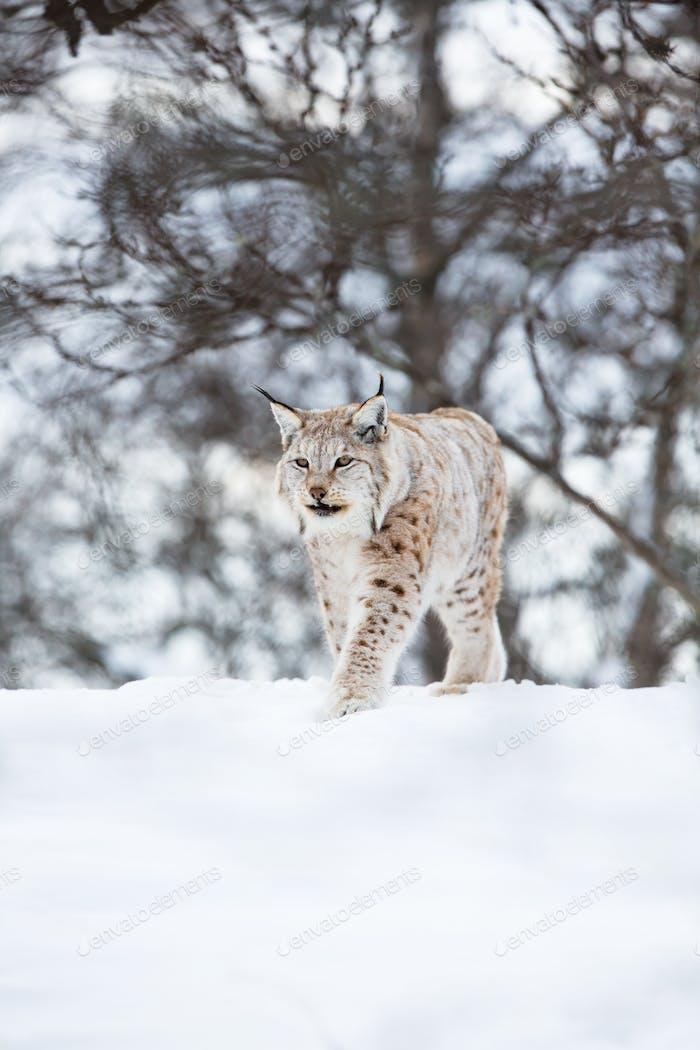 European lynx walks in snow
