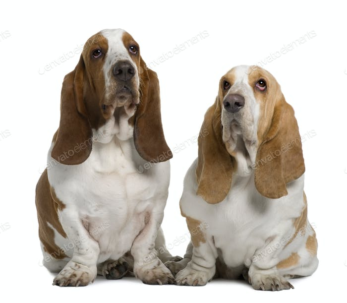 Two Basset Hounds, 1 Year Old And 3 Years Old, sitting in front of white background