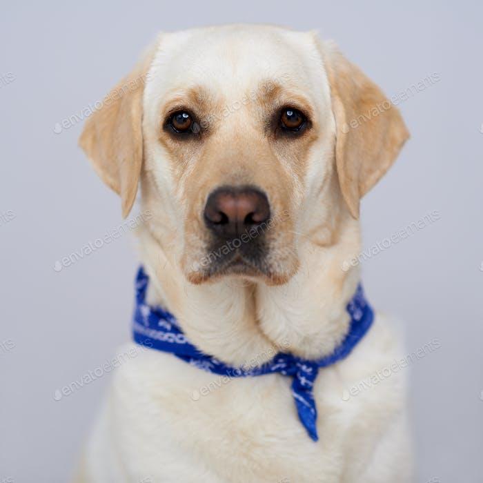 Handsome golden labrador