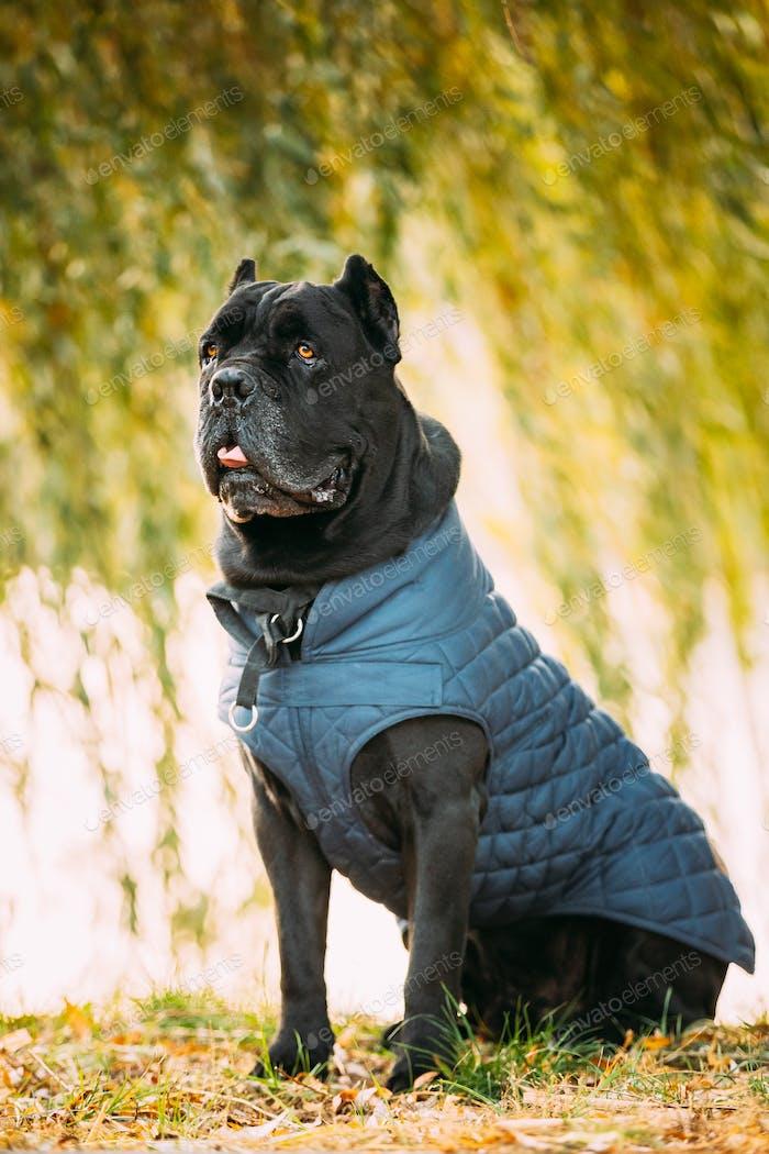 Schwarzer Cane Corso Hund sitzt im Gras. Hund trägt in warmer Kleidung. Große Hunderassen
