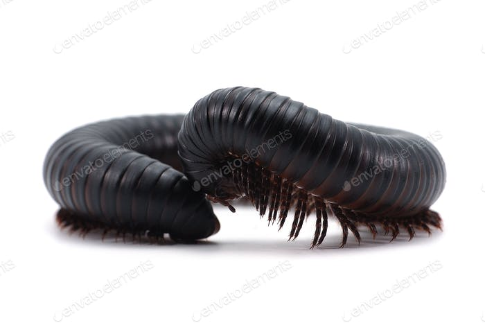 centipede millipede isolated on white background