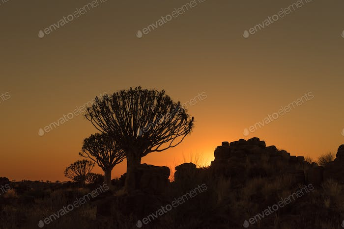Silhouettes at sunset of quiver trees and rocks at Garas
