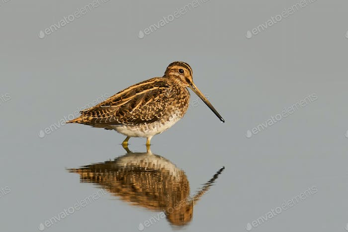 Common snipe (Gallinago gallinago) in its natural enviroment in Denmark