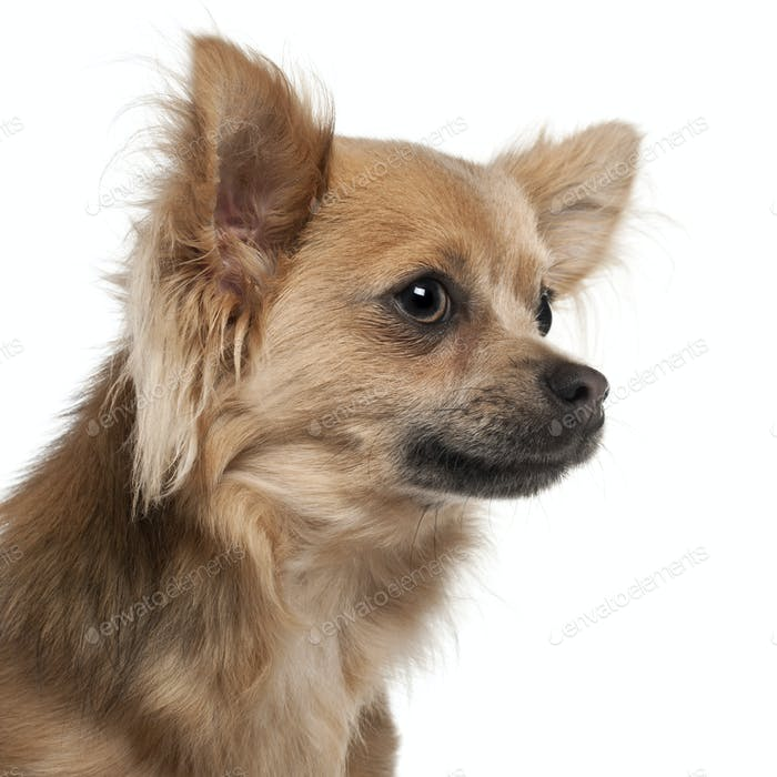 Close-up of Chihuahua, 10 months old, in front of white background