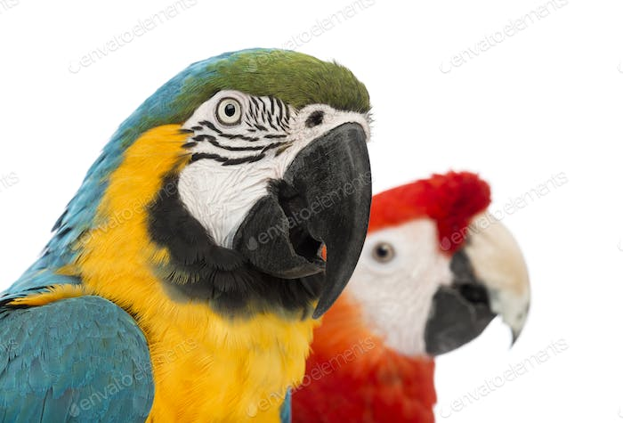 Close-up of a Blue-and-yellow Macaw, Ara ararauna, 30 years old, and Green-winged Macaw