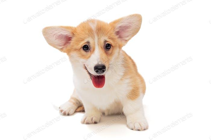 Smiling funny Pembroke Corgi puppy