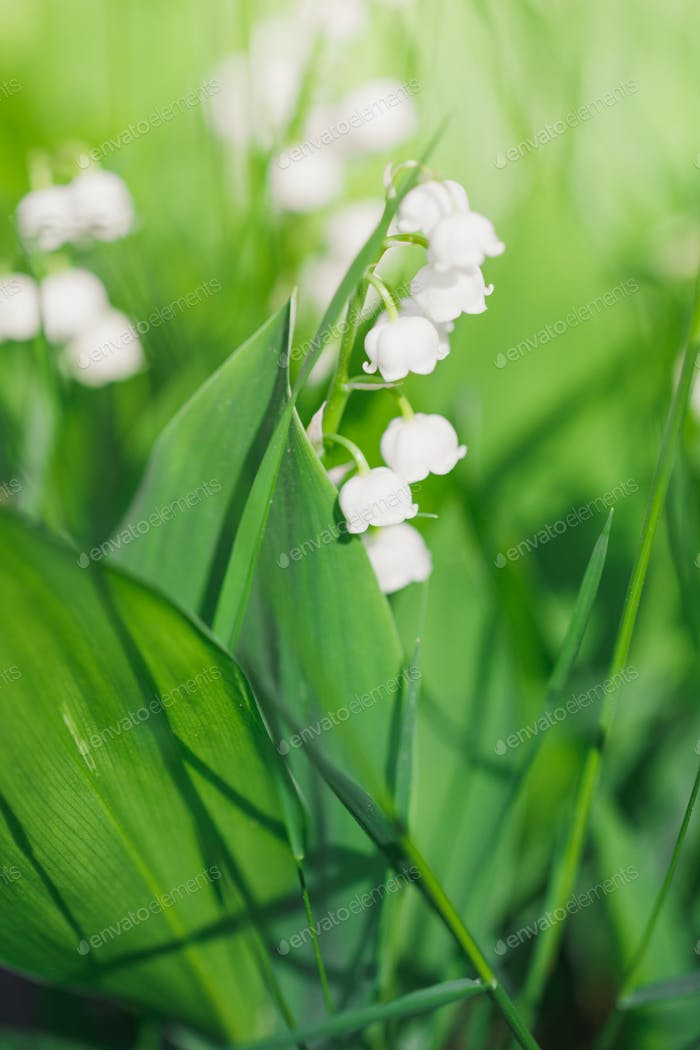 Macro photography of a lily of the valley. Nature background.