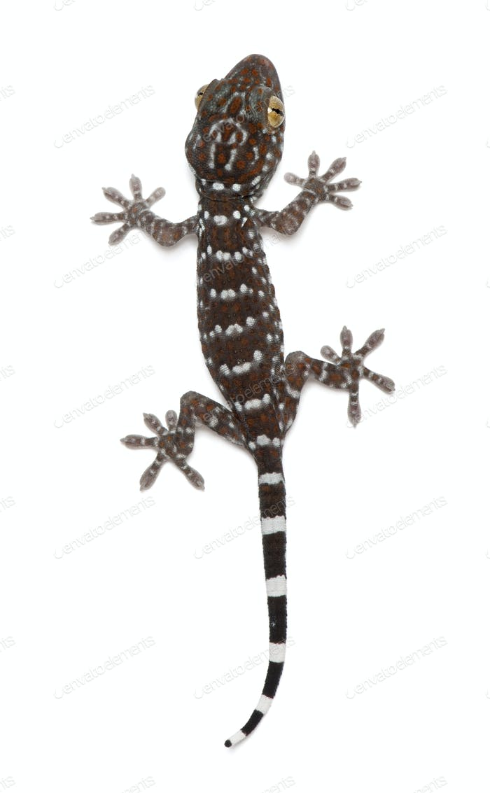Tokay Gecko, Gekko gecko, against white background