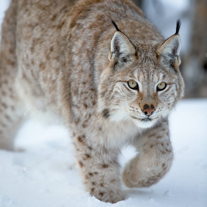 Close up of a lynx sneaking