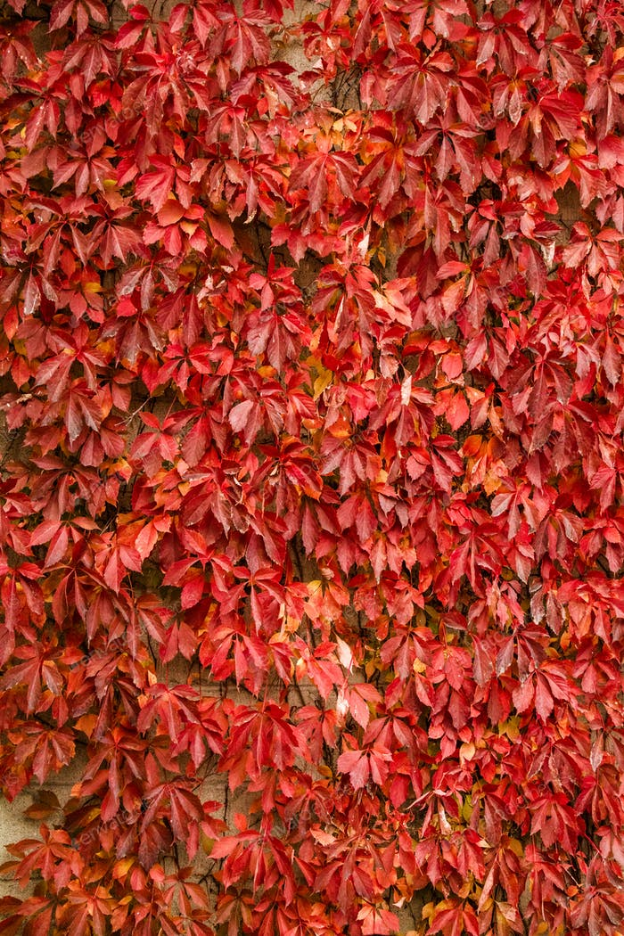 Autumn Vine Leaves Background Texture