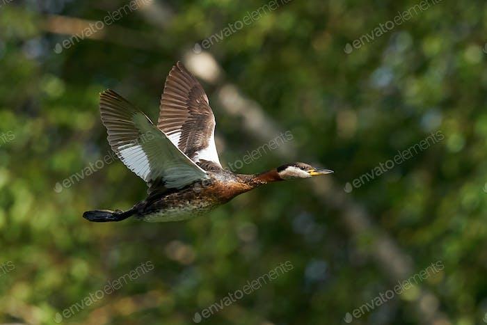 Red-necked grebe (Podiceps grisegena)