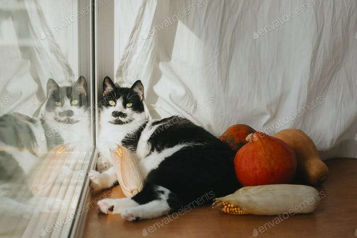 Cute cat with funny look lying at pumpkins