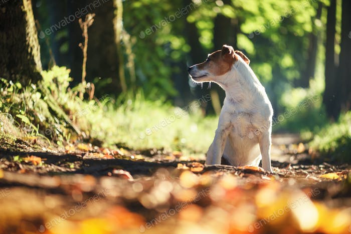 jack russel terrier dog on autumn alley