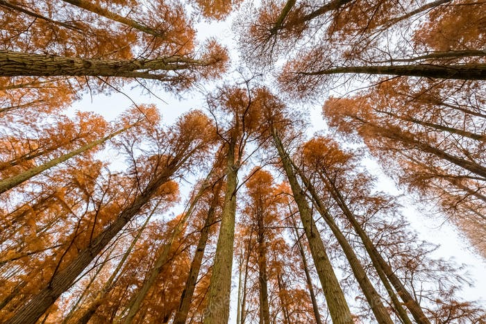metasequoia woods in autumn